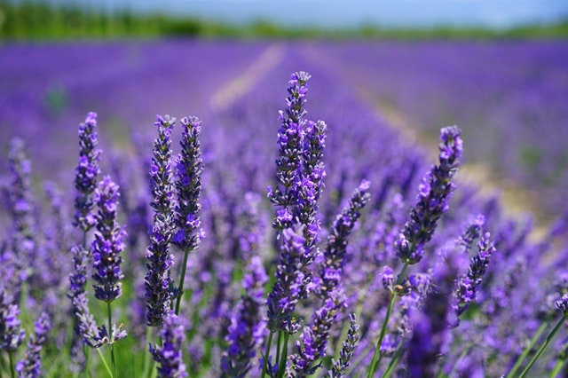 Ingredient Focus: Lavender
